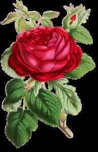 illustration of a rose